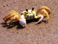 Подробности из жизни камчатских крабов